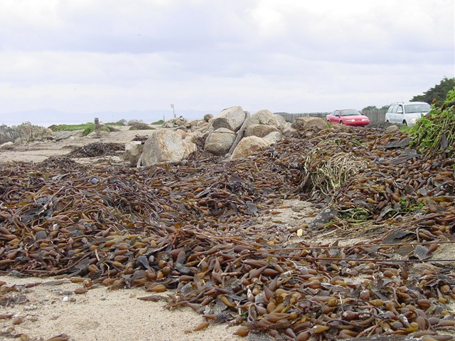 Kelp at Fog Horn3