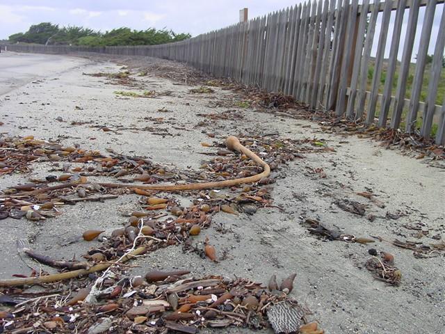 Kelp on Road